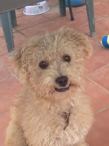 Unser neues Familienmitglied – ein spanischer Hund