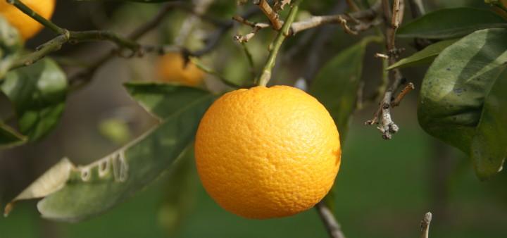 Orangen, Andalusien,