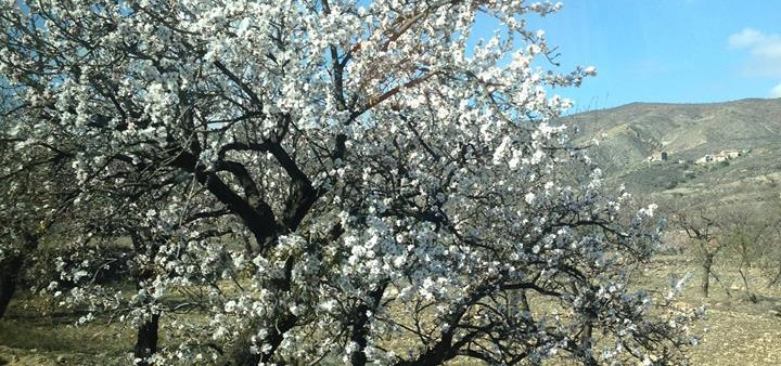 Mandelblüte, Andalusien