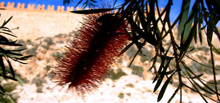 Pfeifenputzerbaum vor Alcazaba Almeria