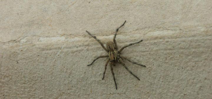 Hüpfende Spinnen sind auch ungeliebte Haustiere in Andalusien