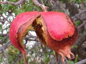 Deshalb ist der Granatapfel so gesund!