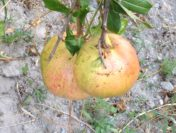 Granatapfel Gelee – einfach und schnell