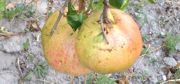 Granatäpfel zum Pflücken bereit