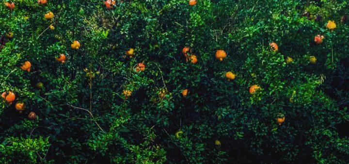 Granatapfel Baum für Gelee