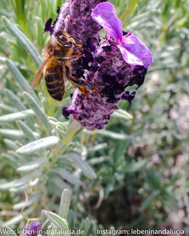 Kräuter in Andalusien – Teil 2