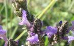 Weißwein-Lavendel-Gelee