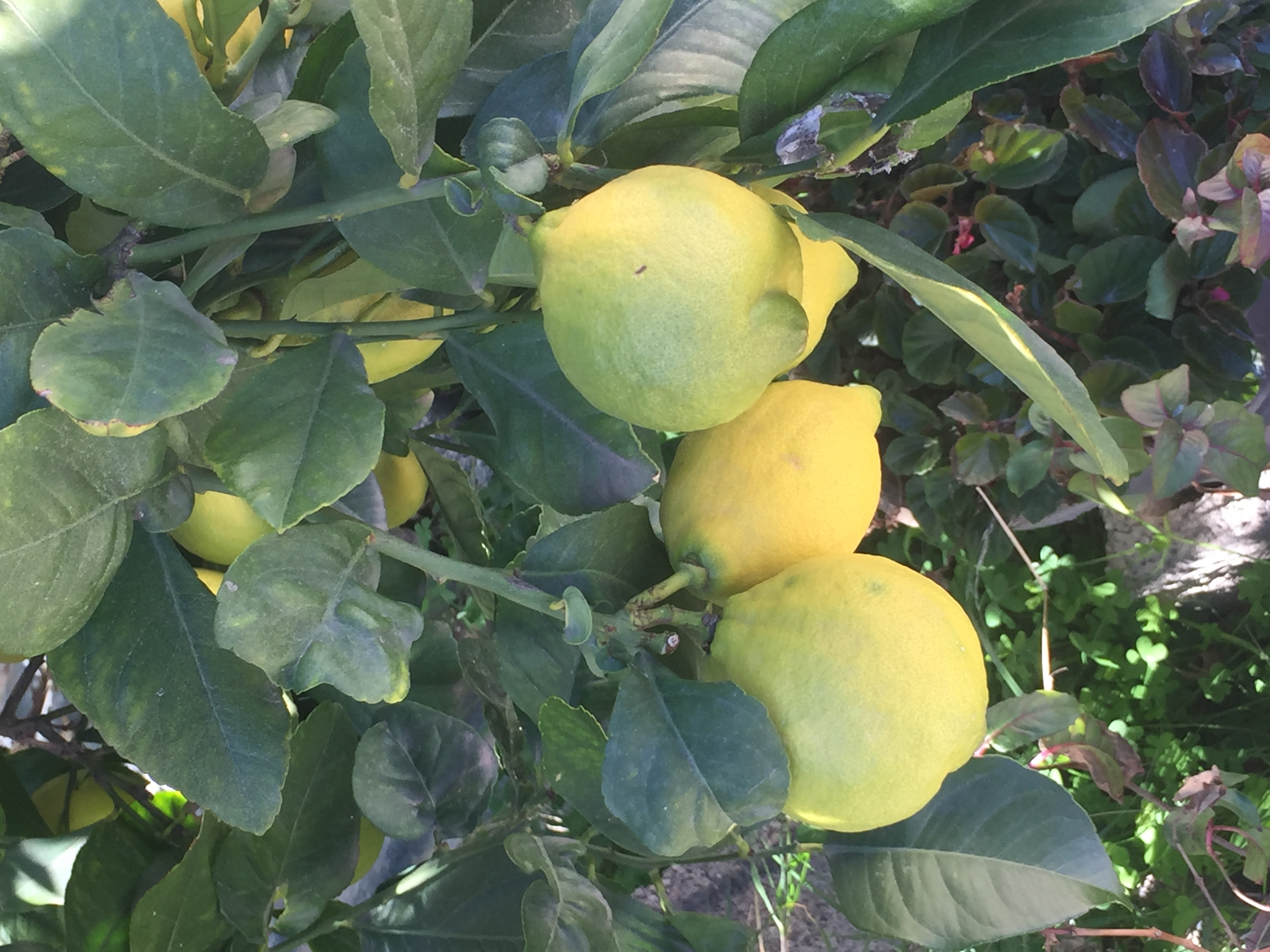 Die andalusischen Früchte