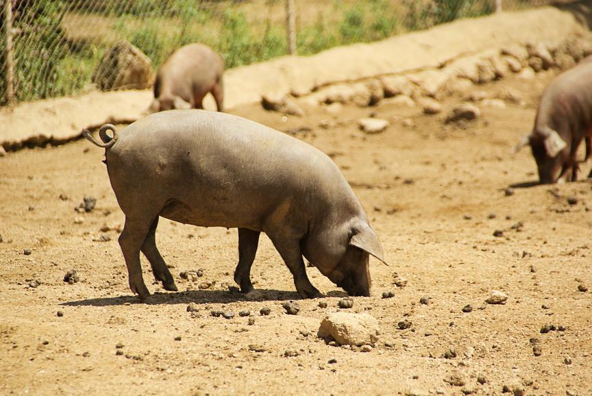 Iberisches Schwein beim Fressen